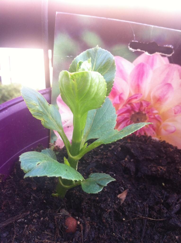 Dahlia Wittem, planté aussi à la même période que mes autres bulbes d'Amsterdam. Son 3ème niveau de feuilles, 25/06/2015