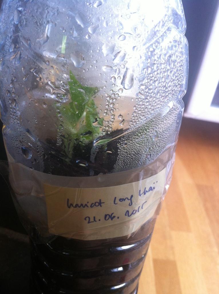 Haricot long thaï, semé le 21 juin (2ème bouteille on sait jamais...), 3 à 4 cm au 25 juin