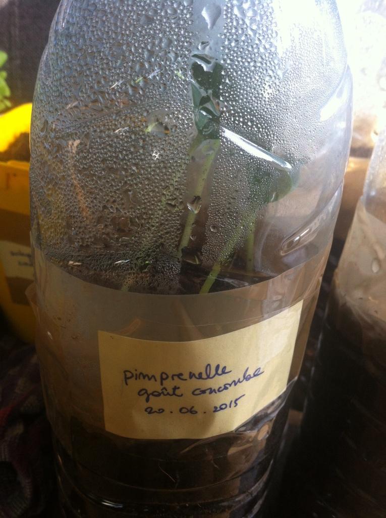 Pimprenelle, au goût de concombre, semé le 20 juin, et vous voyez ça a déjà pris une belle hauteur on est le 25 juin