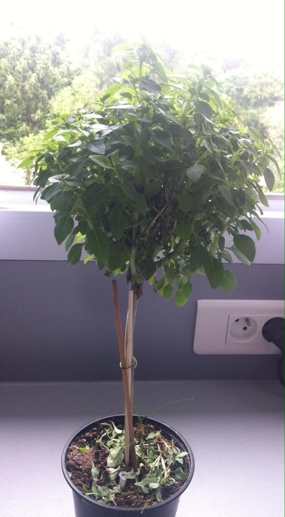 Basilic à petites feuilles, conduit sur tige