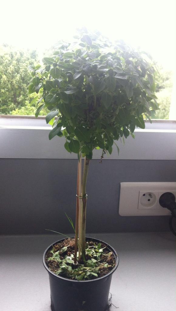 Basilic à petites feuilles sur tige, se fondant sur ma perspective d'arbres ahah