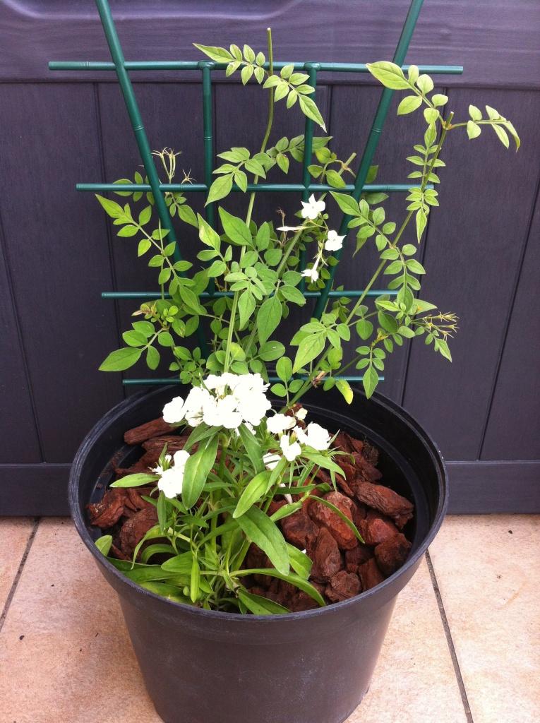 Mon jasmin planté avec mon oeillet de Chine, grimpant sur un tuteur