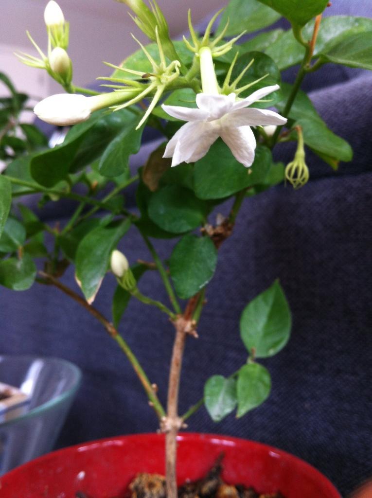 Fleurs de jasmin en cloche