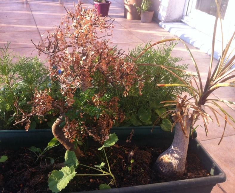 Le bonsaï de mon beau frère en jardinière