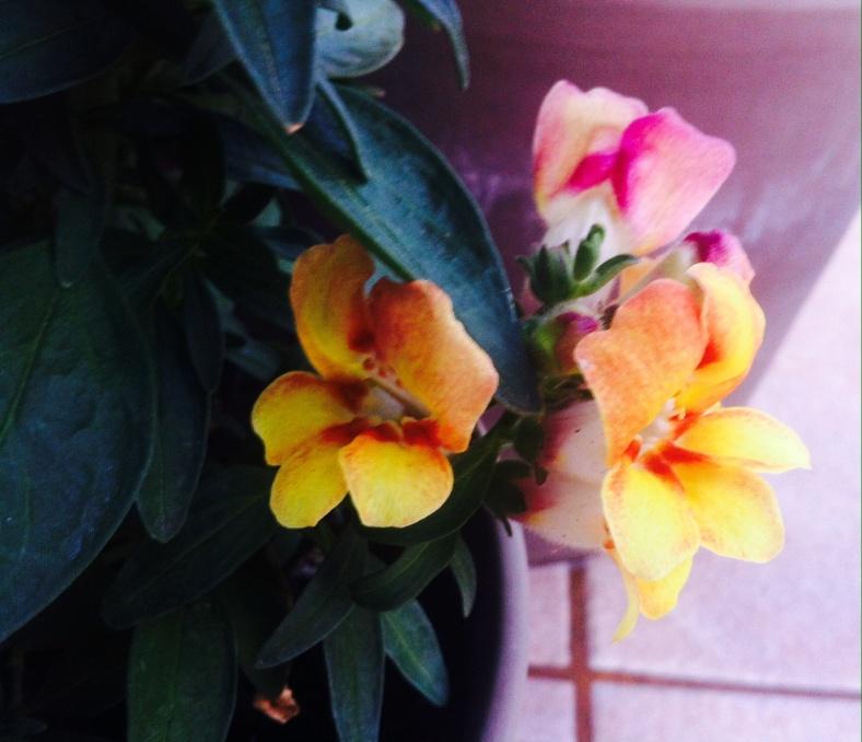 Au pied du muflier, les fleurs apparaissent tout aussi vite même sur branches courtes