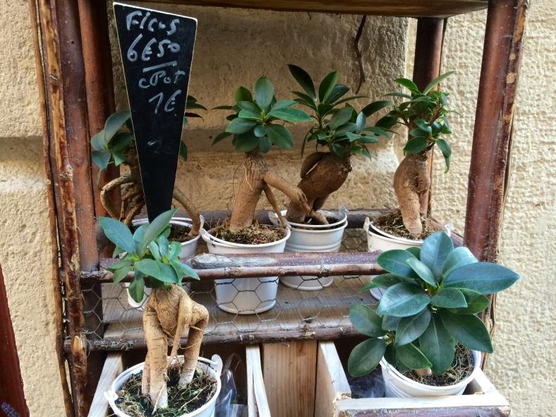 Ficus (mini aussi non ?)