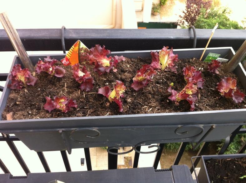 Salade rouge replantée dans une jardinière