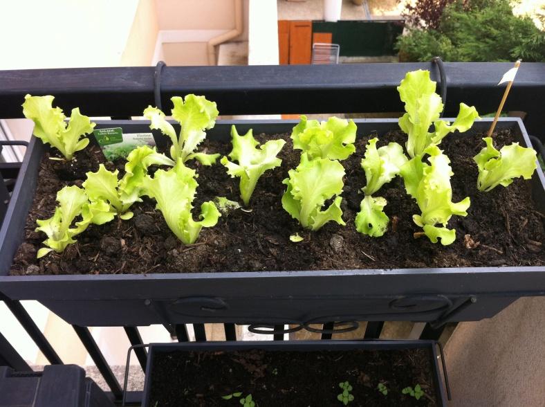 Et la laitue verte dans l'autre jardinière