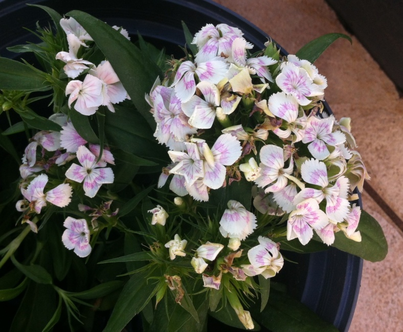 Oeillet de Chine rose blanc tacheté de rose