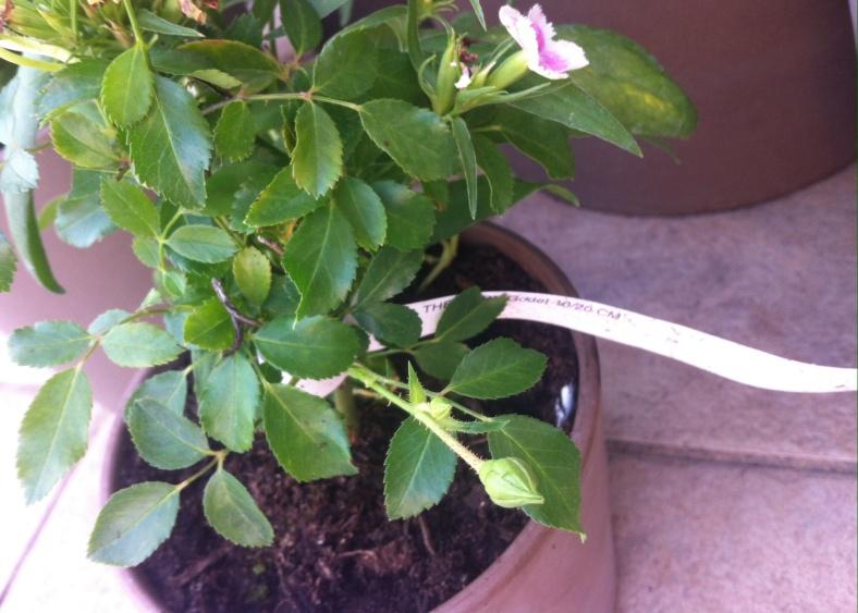 Mon minuscule rosier buisson (entre 10 et 20 cm) planté en pot, déjà surplombé par un oeillet de Chine aux mêmes couleurs