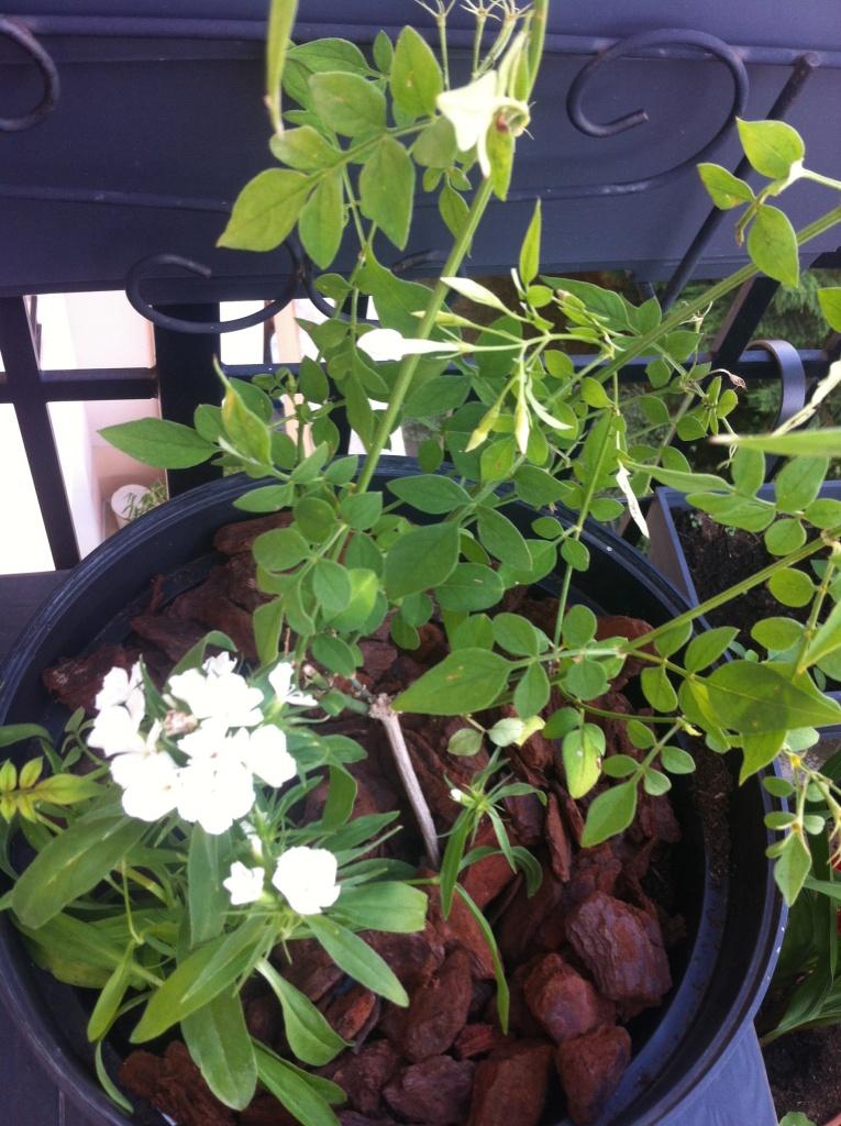 L'oeillet de Chine blanc est allé s'abriter au pied du jasmin tout nouveau tout beau (entre 20 et 30 cm)