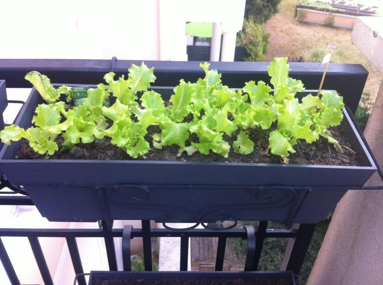 Mes autres salades une semaine après plantation en jardinière