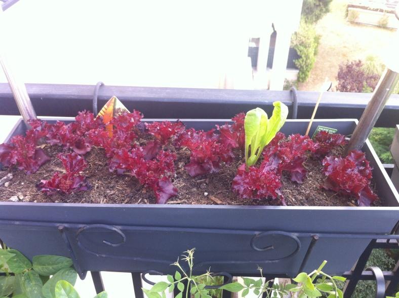 Ma salade, après une semaine en jardinière