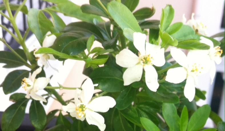 Les nombreuses fleurs de mon oranger du Mexique