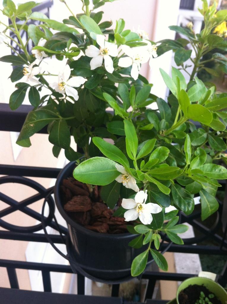 Oranger du Mexique en fleurs