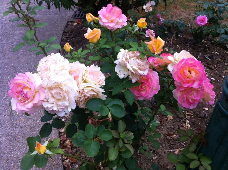 Rosier de rose très pâle à rose indien