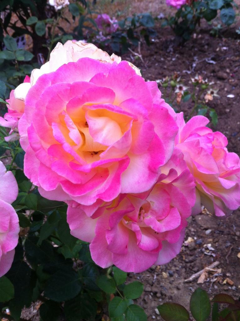 Zoom sur cette rose au coeur orangé