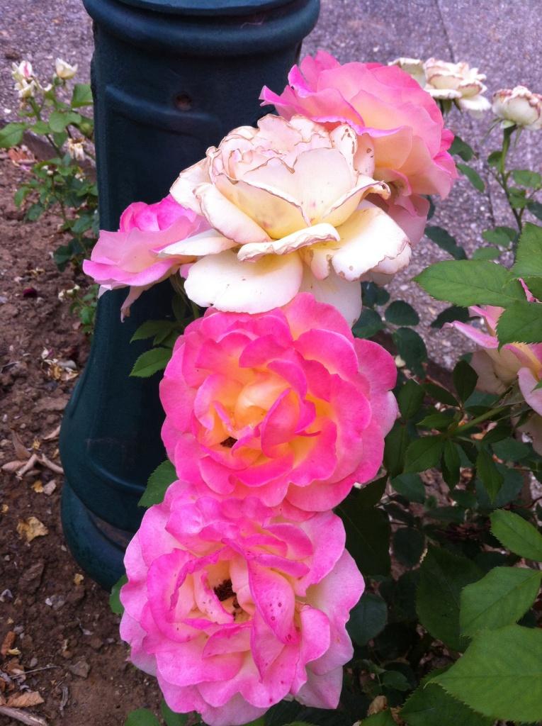 Rangée de roses au pied du lampadaire