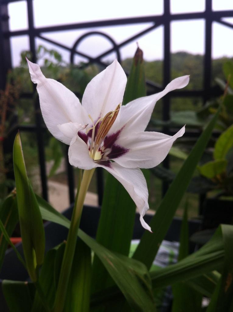 Glaïeul Acidanthera murielae éclos, dressé vers le ciel