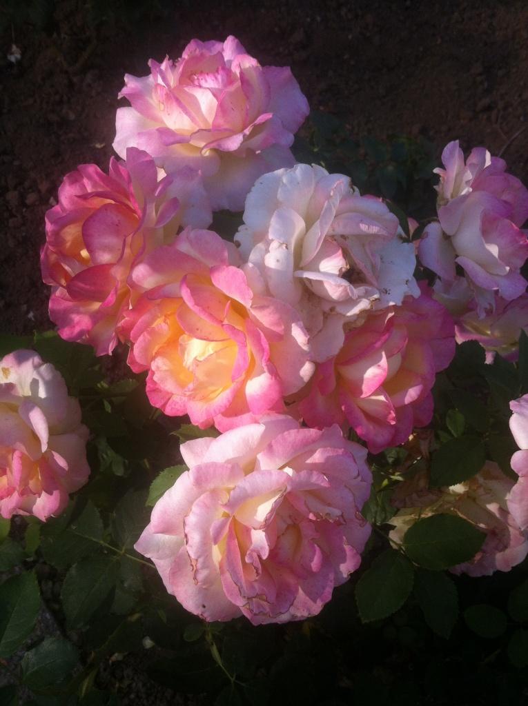 De belles roses aux nuances douces prennent un rayon de soleil, timidement