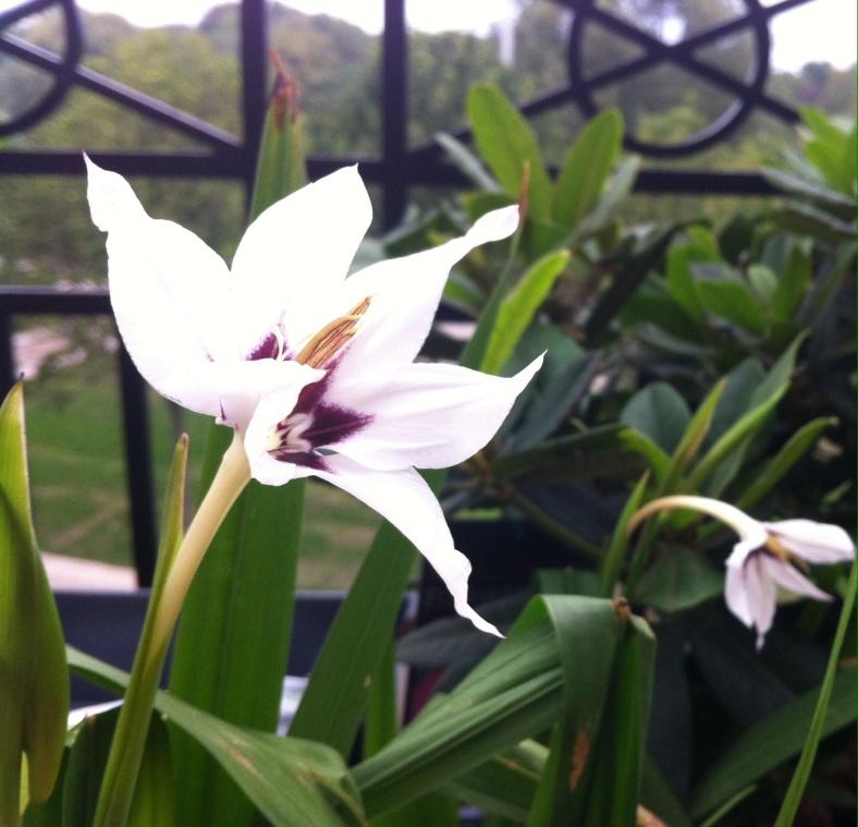 Glaïeul Acidanthera murielae éclos, dressé vers le ciel, et en arrière plan, un en train d'éclore à son rythme