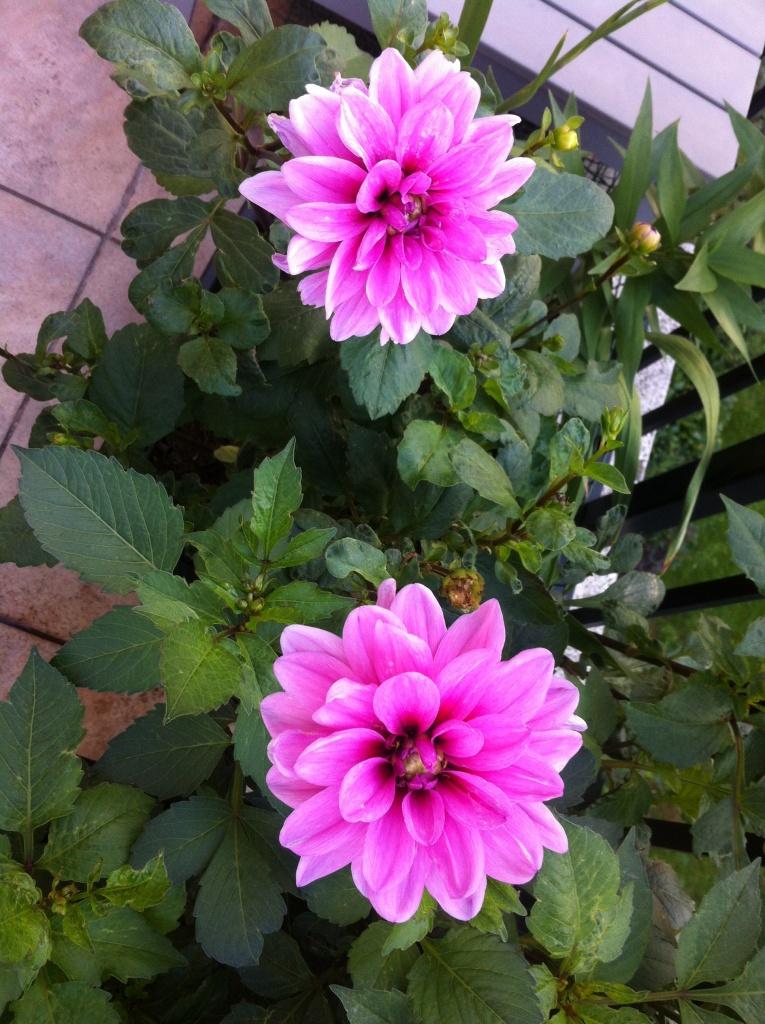Dahlia, marée bleue : deux beaux dahlias au soleil, 20/09