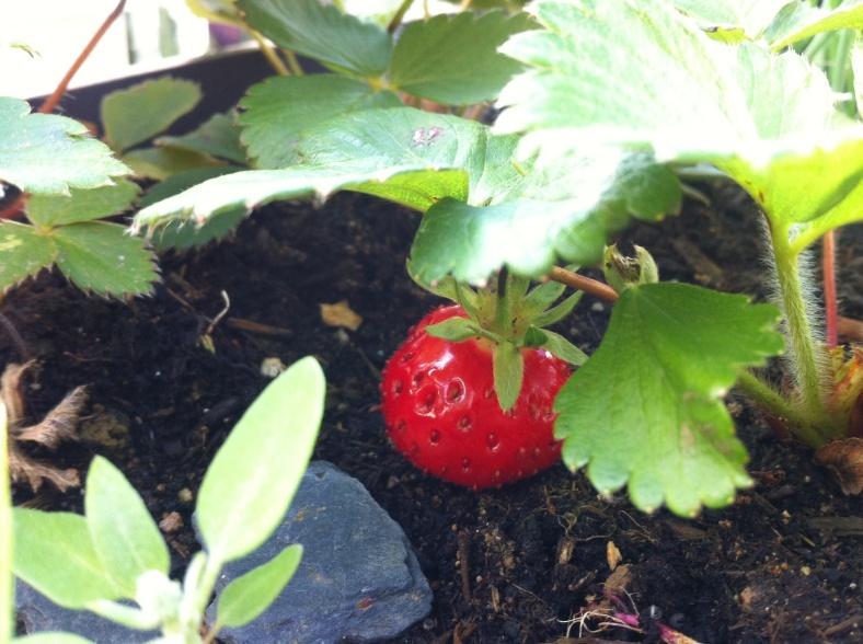 Une fraise Mara des bois qui mûrit timidement à l'ombre du feuillage