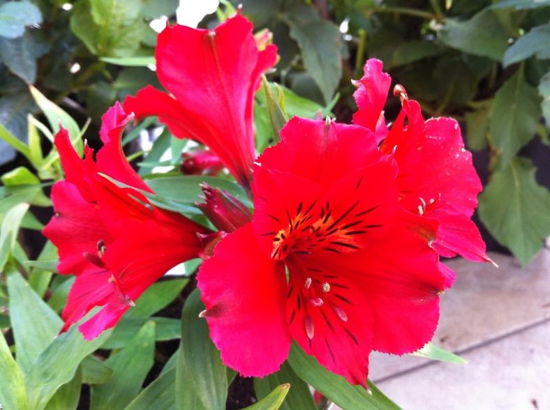 Zoom sur ce Lys des Incas rouge, qui reprend de plus belles ! 20/09