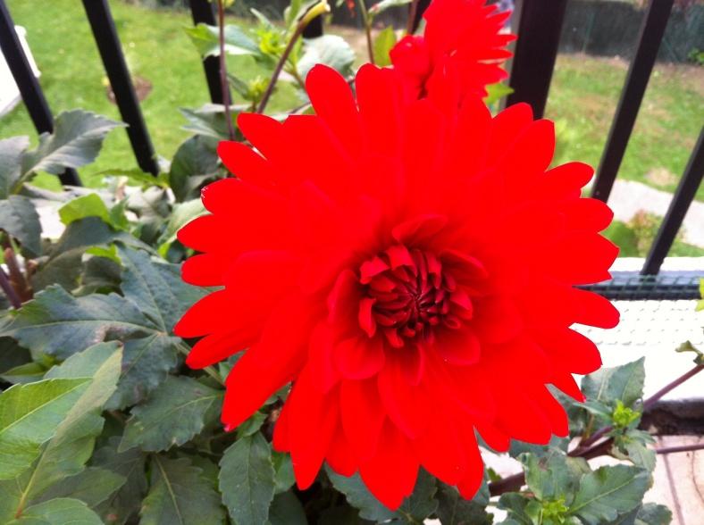 Dahlia rouge, dommage que les contrastes ne soient pas pris en compte