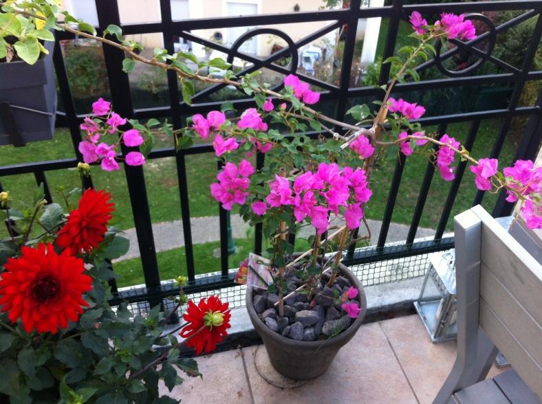 Mon bougainvilliers s'installe définitivement ici. Abondance de fleurs éclatantes au soleil, et des branches qui s'étirent de toute part ! 20/09