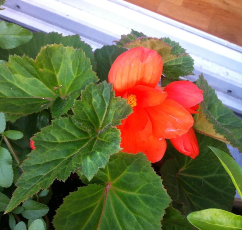 Begonia à grosse fleur, cachée sous ses larges feuilles