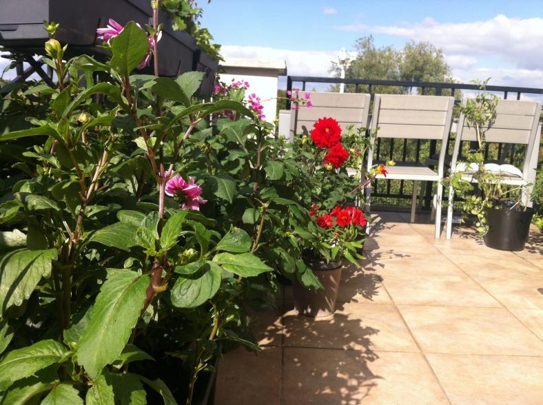 La ballustrade en fer gorgé est dissimulée derrière mes massifs (en bacs) de dahlias roses et rouges