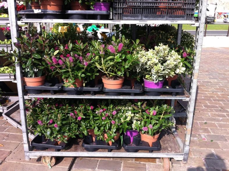 Arbustes en fleurs pour la saison, au marché face à la Cathédrale Saint Julien