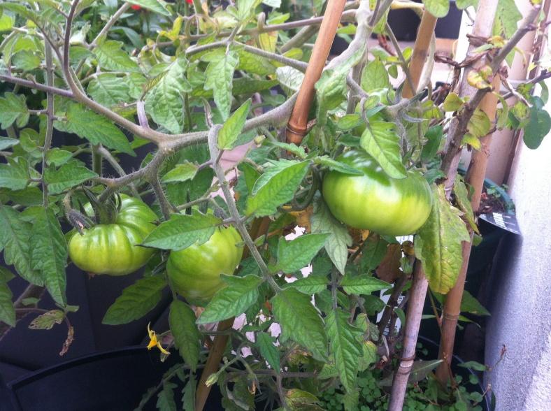 Grappe de tomates vertes