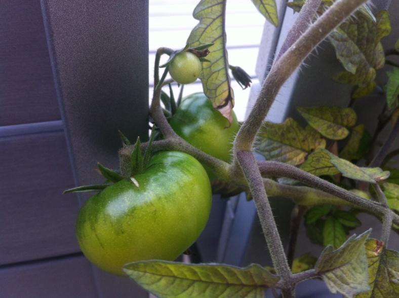 Et ma plus grosse tomate fait 7cm de diamètre à tout casser !
