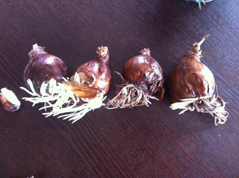 """Les longues """"racines"""" déjà développées des bulbes Narcisse Erlicheer"""