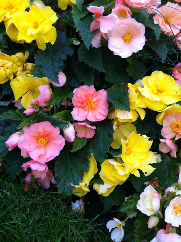 Begonia mix, je ne savais pas que ça fleurissait encore si bien sous ce temps aléatoirement clément