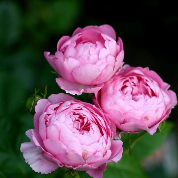 Plantation d'un rosier en pot   Envie de nature